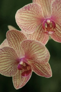 orchid2+